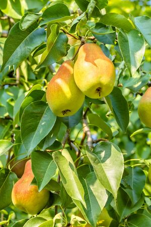 Ripe juicy yellow pears on a branch in the autumn sunny garden