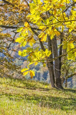 Oaks with yellow leaves in the autumn mountains, backlit. Selective focus 写真素材