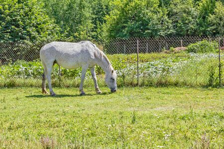Gray horse on a green lawn in a village on a sunny summer day
