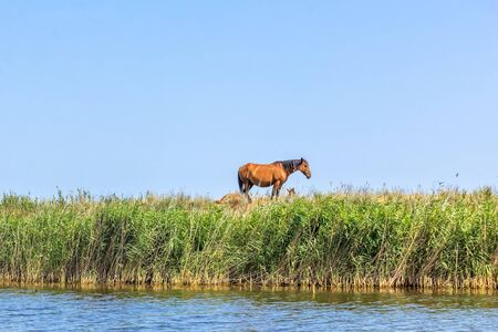 Bay horse grazes by the river on a summer day against a blue sky