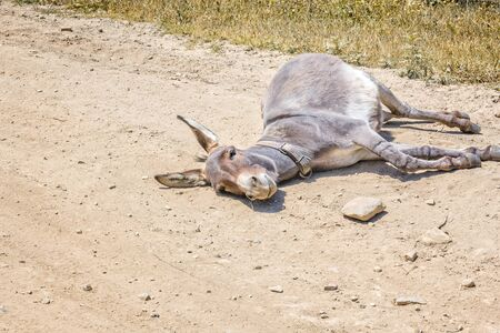 Donkey lies on a dusty rural road on a sunny summer day, close-up 写真素材