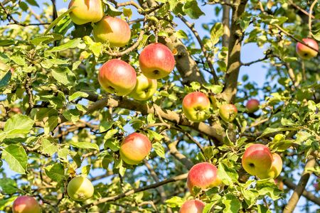 Red- yellow ripe apples on a branch on the background of blue sky, close-up