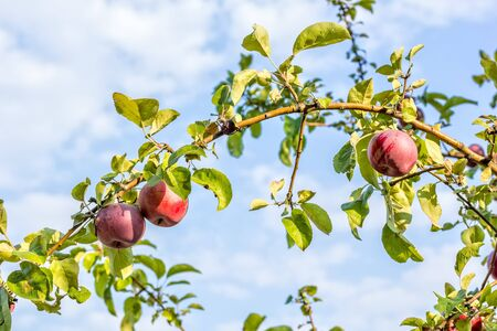 Red ripe apples on a branch on the background of blue sky