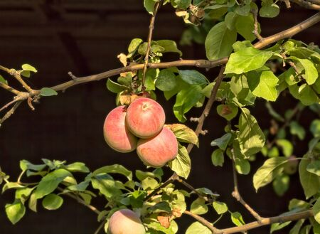Red ripe apples on a branch in the sunshine on a dark background  写真素材