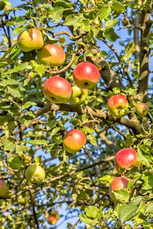 Red- yellow ripe apples on a branch on the background of blue sky