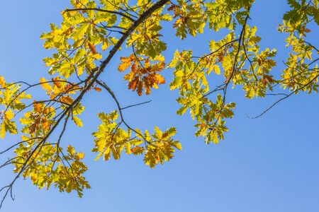 Oak branch with yellow, orange and green autumn leaves against a cloudless blue sky