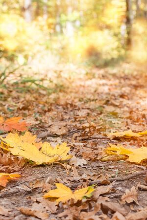 Bright yellow and orange leaves of a maple on a footpath in a sunny autumn forest, macro 写真素材