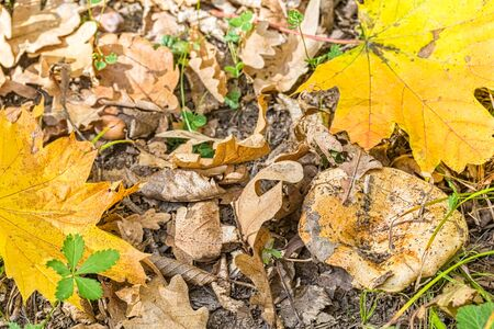 Mushroom and autumn maple and oak leaves on a sunny day, close-up