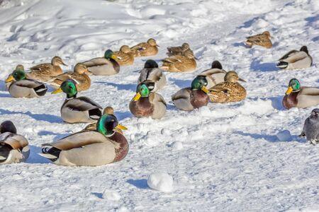 Flock of ducks mallards on white snow on a sunny winter day