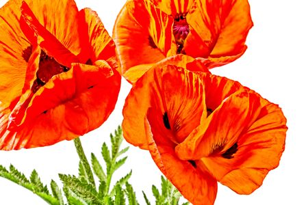 Beautiful red poppies isolated on a white background, close-up