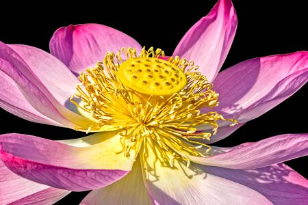 Beautiful pink indian lotus flower isolated on a black background, macro 写真素材