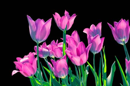 Spring lilac tulips in backlight, isolated on a black background 写真素材