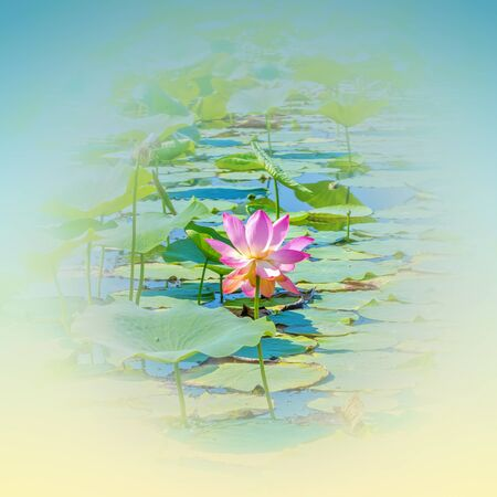 Pink lotus flower in the lake on a summer day in yellow-blue haze. Square format Reklamní fotografie