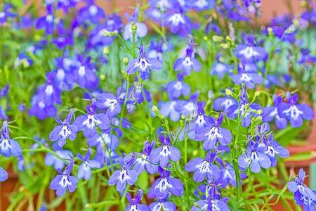 Fragile blue lobelia flowers in the summer garden, macro. Selective focus