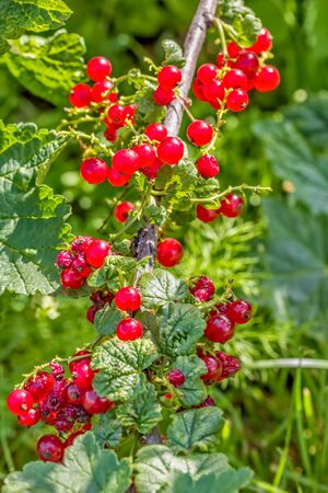 Red currant branch with red ripe berries in the sunny summer garden, close-up. Selective focus Reklamní fotografie
