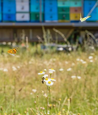 Bee on a field camomile and two butterflies on the background of a mobile apiary. Selective focus