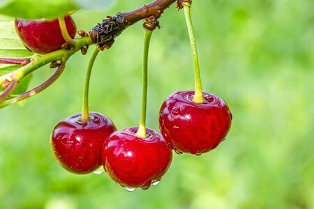 Three ripe red cherries on a branch in the garden with drops of water on a rainy day on a blurred background of green leaves, macro. Selective focus