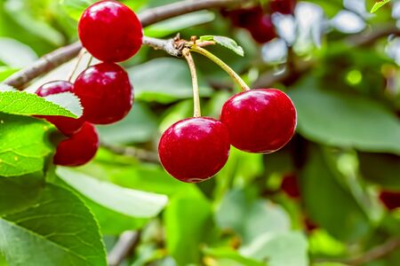 Red ripe cherries on a branch with green leaves in the garden on a sunny summer day, macro. Selective focus