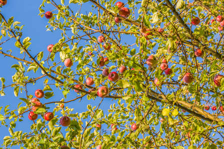 Red ripe apples on a branch in the garden on the background of blue sky Reklamní fotografie