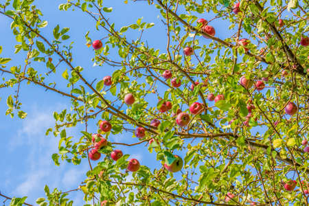 Red ripe apples on a branch in the orchard on the background of blue sky