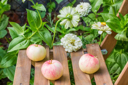 Three ripe apples on a garden chair among the flowering white zinnias in the garden on a summer day, close-up. Selective focus