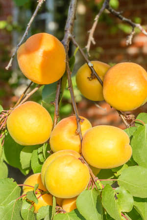 Orange ripe apricots on a branch among green leaves in the orchard on a summer day