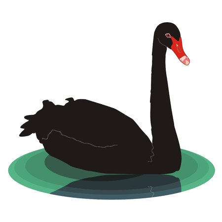 waterfowl: Vector black swan is large bird with black plumage and red bill swimming in lake