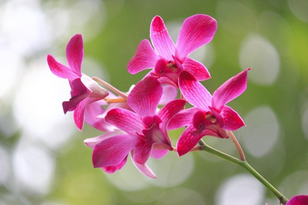 Orchid in Thailand photo