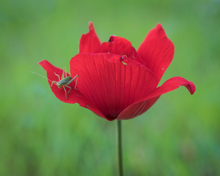 armageddon: Red spring ... Beautiful Anemone, photographed during the early spring at Megiddo, Armageddon district, Israel.