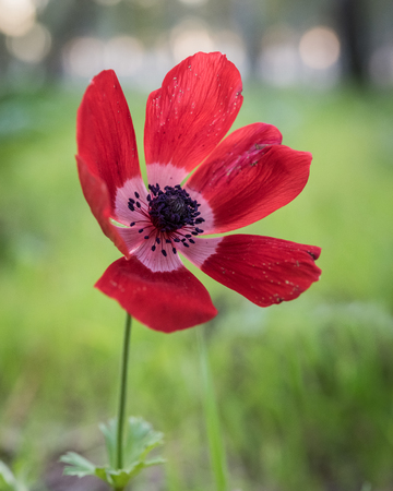 armageddon: Red sunset ... Beautiful Anemone, photographed during the early spring at Megiddo, Armageddon district, Israel.