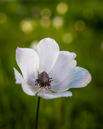 armageddon: White spring ... Beautiful Anemone, photographed during the early spring at Megiddo, Armageddon district, Israel.