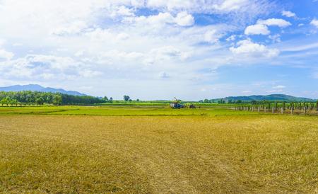 rice harvest: Beautiful field lanscape