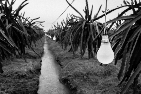 bw: Lamps of the dragon fruit garden. BW Stock Photo