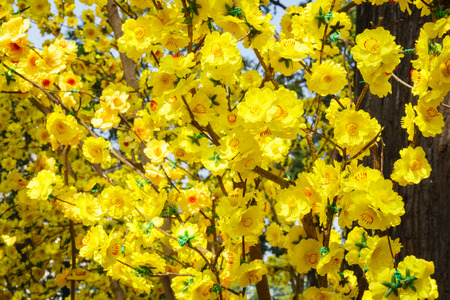 oudoors: Yellow apricot blossom in springtime