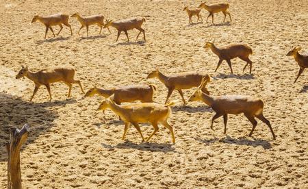 conservation grazing: Deers herd moving Stock Photo
