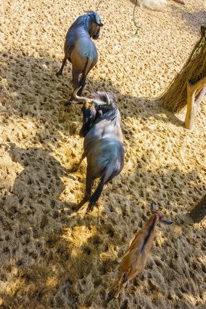 mountain goats: Family mountain goats going Stock Photo
