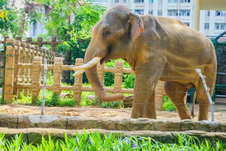 tusks: Elephant with large tusks