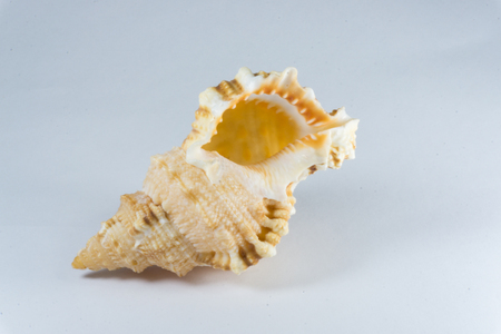 conch shell: Conch shell