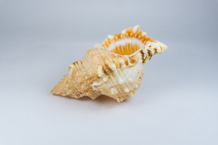conch shell: The conch shell Stock Photo