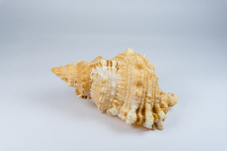 conch shell: Big conch shell Stock Photo