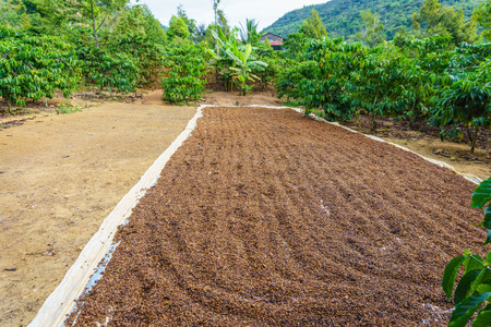 processed grains: Drying coffee seed under sunlight