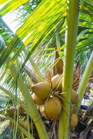 coconut palm tree: Coconut palm tree isolated