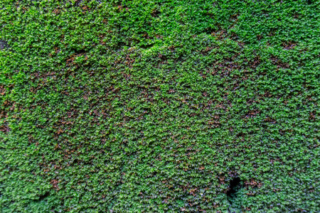 marsh plant: Moss on wall texture background