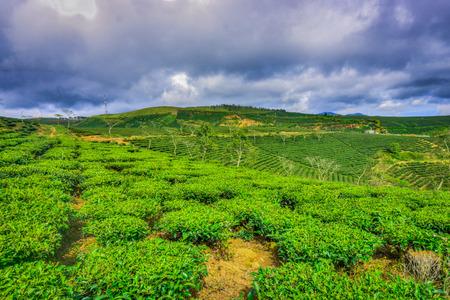 indigenous medicine: Green tea plantation Stock Photo