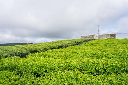 cau: Cau Dat green tea hill farm Stock Photo