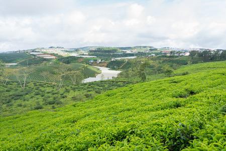 cau: Green tea hill field Stock Photo
