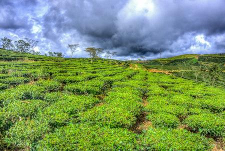 dong: The tea hill farm in Lam Dong, Vietnam