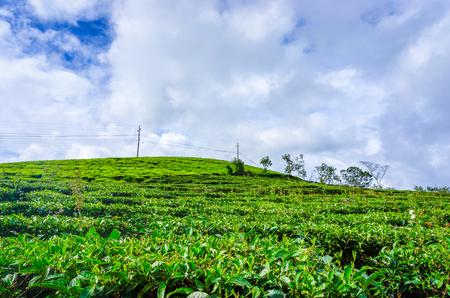 indigenous medicine: Green tea garden
