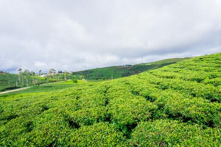 cau: The green tea hill farm