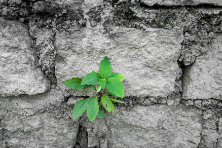 wall bricks: The green tree growing in a stone wall Stock Photo